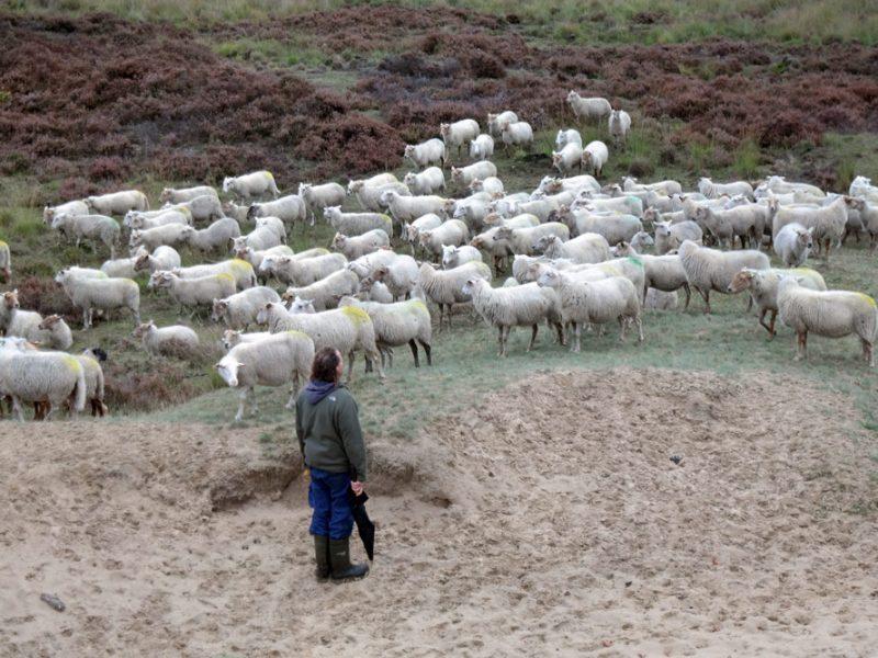 schapen-08